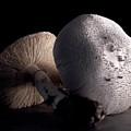 Still Life Two Mushrooms by Mark Wagoner