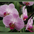 Striped Orchids With Border by Carol Groenen