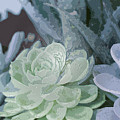Succulents 2 by Linda Dunn