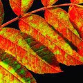Sumac Leaves by Peg Runyan