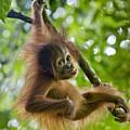 Sumatran Orangutan Pongo Abelii Baby by Suzi Eszterhas
