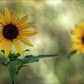 Summer Of Sunflowers  by Saija  Lehtonen