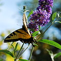 Summer Swallowtail by Lori Tambakis