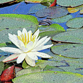 Summer Water Lily by Karol Livote