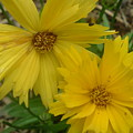 Summer Yellow Coreopsis by Rebecca McAllister