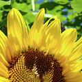 Sun Flower Floral Art Prints Sunflowers Summer Garden by Baslee Troutman
