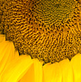 Sunflower by Charlie Hunt