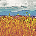 Sunflower Field 1 by Steve Ohlsen
