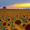 Sunflower Field by Lightvision, LLC