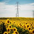 Sunflower Field by Nelson Mineiro
