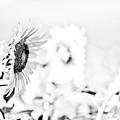 Sunflower by Gabriela Insuratelu