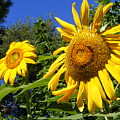 Sunflower Garden by Gail Salitui