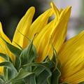 Sunflower by Jill Smith