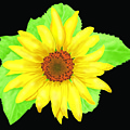 Sunflower On Black Background by Larry Ryan