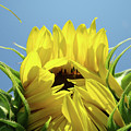 Sunflower Opening Sunny Summer Day 1 Giclee Art Prints Baslee Troutman by Baslee Troutman