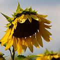 Sunflower by Robin Lynne Schwind