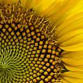 Sunflower Study by Daniel G Walczyk