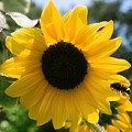 Sunflower With Bee by Dean Triolo
