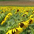 Sunflowers  by Evelynn Eighmey