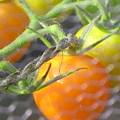 Sungold Tomatoes by Barbara Milhender