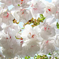 Sunlit Flowers Art Prints White Tree Blossoms Baslee Troutman by Baslee Troutman