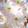 Sunlit Pink Blossoms Art Print Spring Tree Blossom Baslee by Baslee Troutman