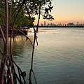 Sunset At Miami Behind Wild Mangrove Forest by Matt Tilghman