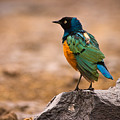 Superb Starling by Adam Romanowicz