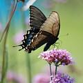 Swallowtail Butterfly    by D Nigon