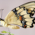 Swallowtail Butterfly by Julia Hiebaum