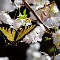 Swallowtail by Nathan Grisham