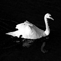 Swan In Blackwater by John Bradburn