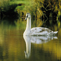 Swan Reflection by Steve Somerville