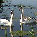 Swans In The Sunshine by Susan Baker