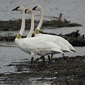 Swans Line Dancing by Ron Read