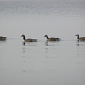 Swimming Geese by Richard Mitchell