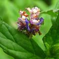 Synchlora Aerata Caterpillar by Joshua Bales