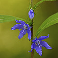 Tall Bellflower by Jack R Perry