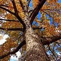 Tall Fall Tree by Charrie Shockey