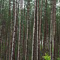 Tall Pines After The Rain by Alice Markham