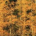 Tamarack Foliage by John Burk