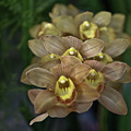 Tan And Yellow Orchid by Liz Santie