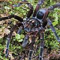 Tarantula Pamphobeteus Sp Male, Mindo by James Christensen