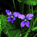 Tattered Wild Violets by Natalie LaRocque