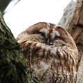 Tawny Owl by Bob Kemp