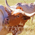 Texas Longhorns by Jennifer Cannon