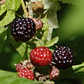 the Berries by Chuck Kugler