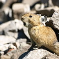 The Call Of The Pika by DeeLon Merritt