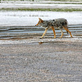 The Coyote - Dogs Are By Far More Dangerous by Christine Till