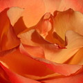 The Final Rose Of Summer by Marla McFall
